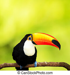 Colorful tucan in the aviary for adv or others purpose use