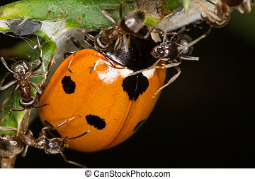 Ants attack Ladybug - The picture shows ants that attack a...