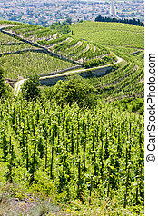 grand cru vineyard, L�Hermitage, Rh�ne-Alpes,...