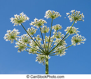 Cow Parsley against a clear, blue, Summer sky