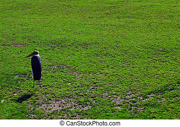 Marabou - Picture of a Marabou bird walking on a lawn