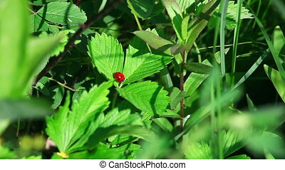 Ladybug in the grass - Ladybug on the strawberry leaves