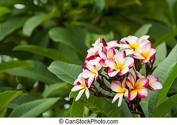 Plumeria or frangipani blossom on the plumeria tree. - Close...