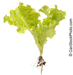 Green Lettuce with Roots Isolated on White Background -...