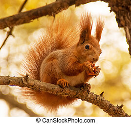 Squirrel with nut - Red squirrel with nut on the tree