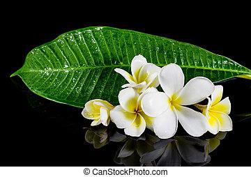 frangipani flower isolated on black background