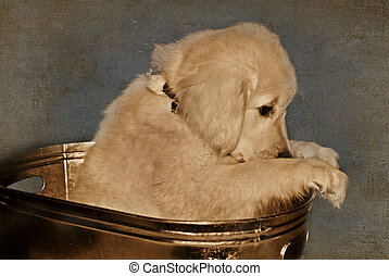 I\'m Sorry - Golden retriever in a vintage tub.