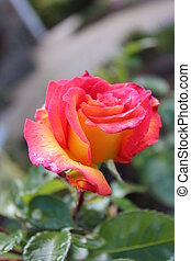 Pink and Yellow English Rose. - Pink and yellow variegated...