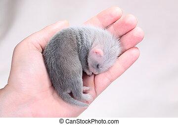 Ferret baby in human hands