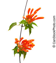 Orange trumpet vine flowers isolated on white