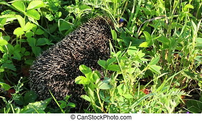 hedgehog goes between grass