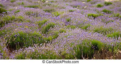 lavender field - Beautiful lavender field in Sevastopol,...