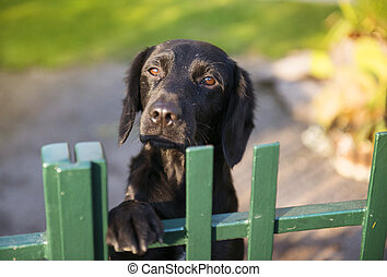 Dog behind the fence - Cute black dog behind the garden...