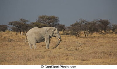 Elephant feeding in the savannah - Side view of single...