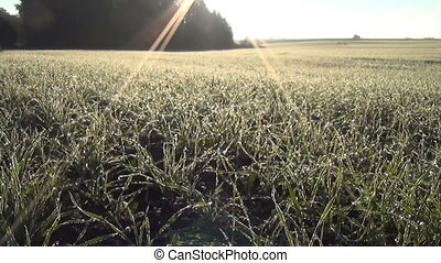 winter crop rime sun - Green winter grain crops covered with...