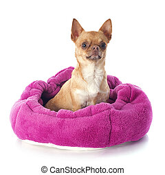 chihuahua in dog bed in front of white background