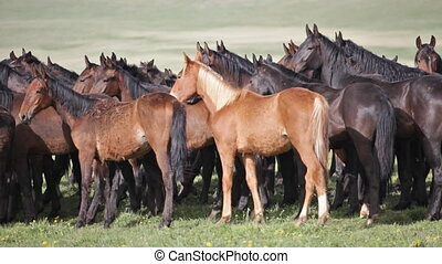 Herd of horses on a summer pasture. Caucasus, Karachay-Cherkessia