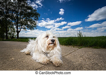Cool - A white Havanese makes room on the road and enjoying...