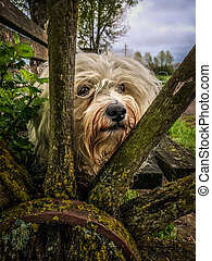 Cartwheel - A white Havanese looking through the spokes of...