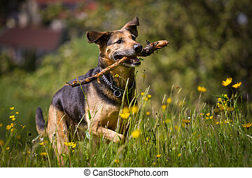 Uphill - Mixed breed dog when retrieving a stick, while she...