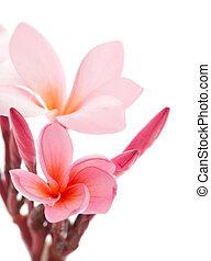 pink frangipani flower isolated on white