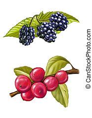 Berries - Blackberries and redberries. Digital illustration.