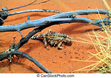 Australia, Zoology - Thorny Devil and ants