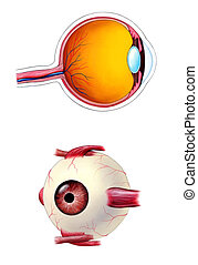 Eye anatomy - Human eye interior and exterior anatomy Mixed...