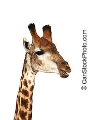 Talking Giraffe - Funny looking giraffe isolated on white...