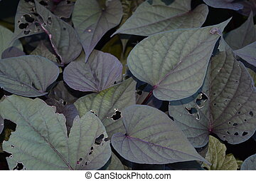 Sweet Potato Vine - Healthy growing Sweet Potato Vine.