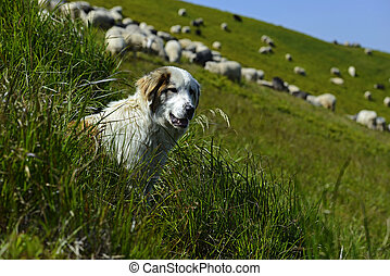 Herd of Sheep - Flock of sheep in the Carpathian mountains...