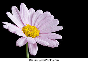 Pink daisy on black background