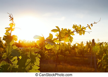 Photo of grape leaves background warm yellow sunbeam through...