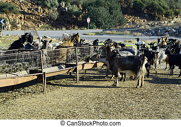 Greece, Crete, flock of goat on feeding place