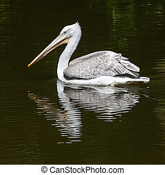 Dalmatian Pelican fishing in the water - Dalmatian...