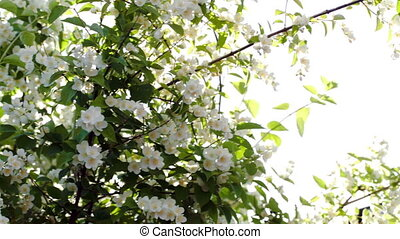 Blooming apple tree with bright sun flare - Dolly close-up...