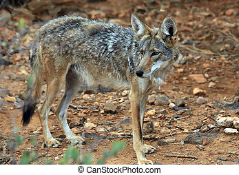 Coyote in the desert on the hunt