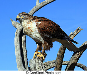 Ferruginous Hawk - Is perched on a branch in the desert near...