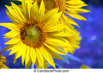 tournesol,  image,  -, champ,  Agriculture, stockage