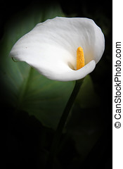 White calla and large leaf verticall image. The Calla lily's...