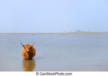 Scottish Highlander in water