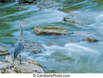 Great Blue Heron fishing for food in a creek with waterfall