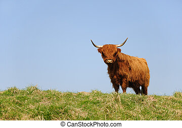 Scottish Highlander - scottish Highlander on the grass dike