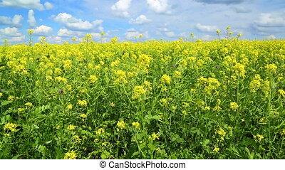 beautiful flowering rapeseed field under blue sky - slider...