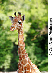 Giraffe - Baby giraffe portrait over blur green background