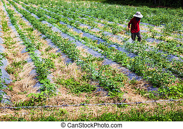 Spraying pesticides - Close up shot a man in the red shirt...