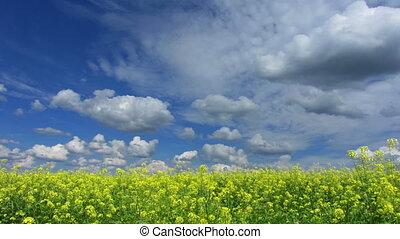 beautiful flowering rapeseed field under blue sky -...