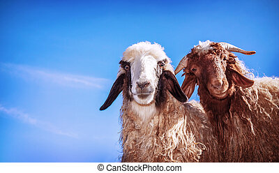 Two funny sheeps - Closeup portrait of two cute funny young...