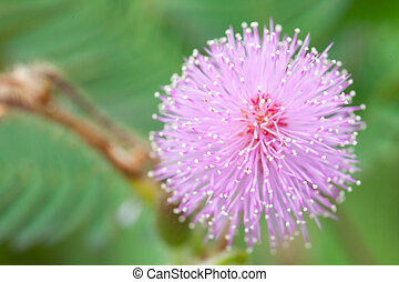 mimosa flowers in the morning
