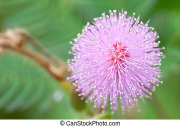 mimosa, fiori